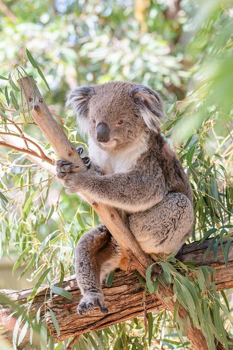 Koala, Marsupial, Herbivore, Arboreal, Wildlife