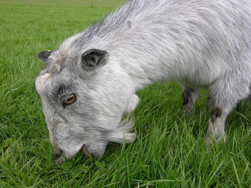 Goat, Animal, Herbivore, Eating, Grass