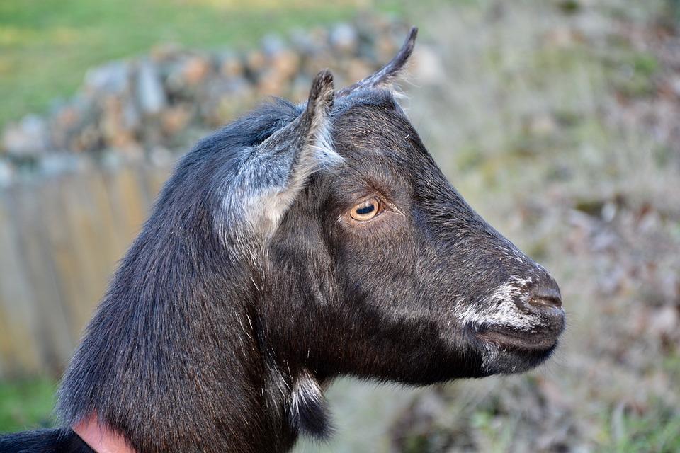 Goat, Goat Nemo, Herbivore, Ruminant, Clipper Green