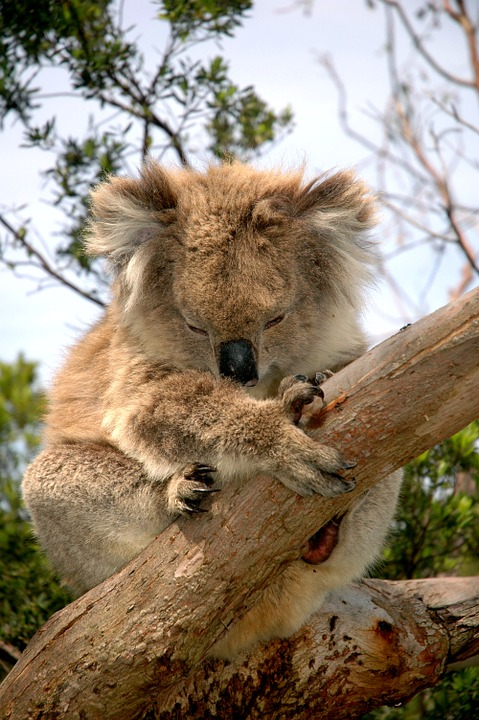 Koala Bear, Australian Native Animal, Koala, Herbivore