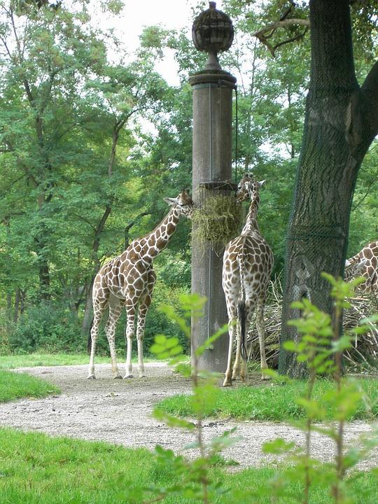 Giraffe, Herbivores, Africa