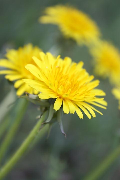 Sonchus Oleraceus, Weed, Medicinal Plants, Herbs