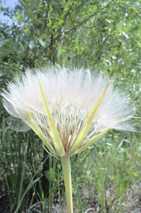 Sonchus Oleraceus, Plant, Medicinal Plants, Weed, Herbs