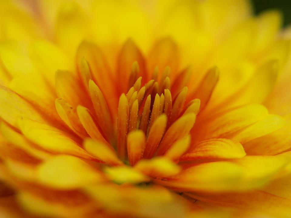 Herbstaster, Yellow, Blossom, Bloom, Close, Orange