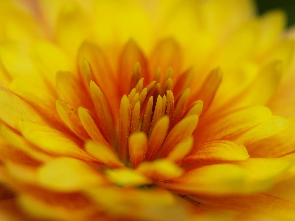 Herbstaster, Yellow, Blossom, Bloom, Close, Orange