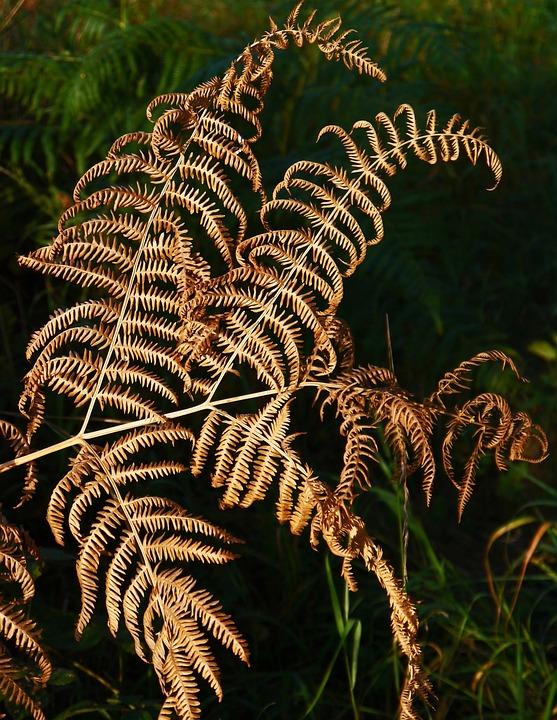 Herbstfarn, Dead Plant, Dry, Structured, Forest, Fern