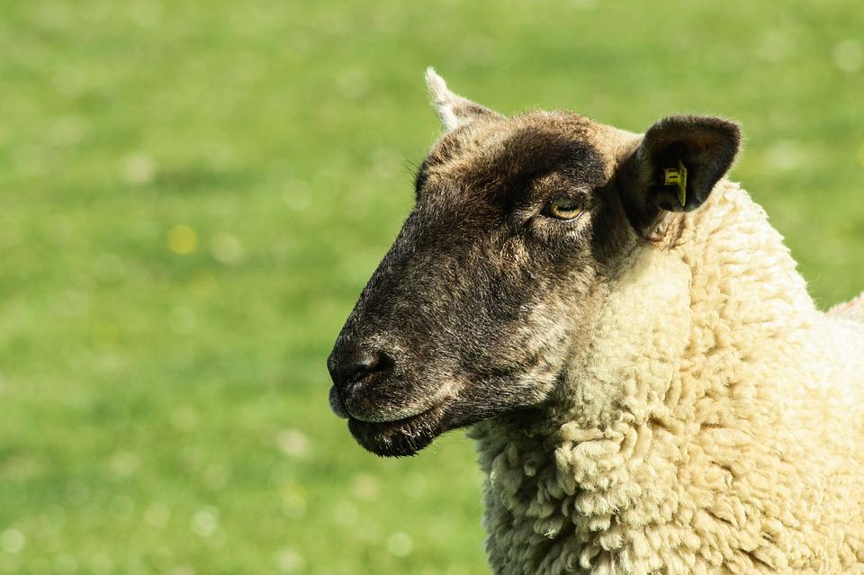 Sheep, Sheep's Wool, Herd Animal, Agriculture