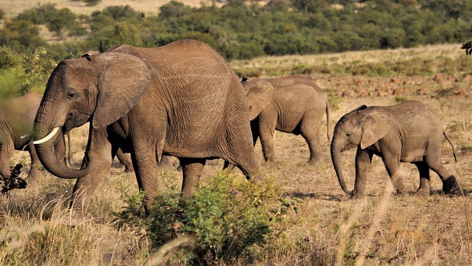 Herd, Elephants, Mother, Calves, Family