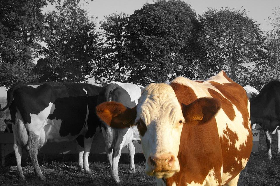Cow, Animals, Herd