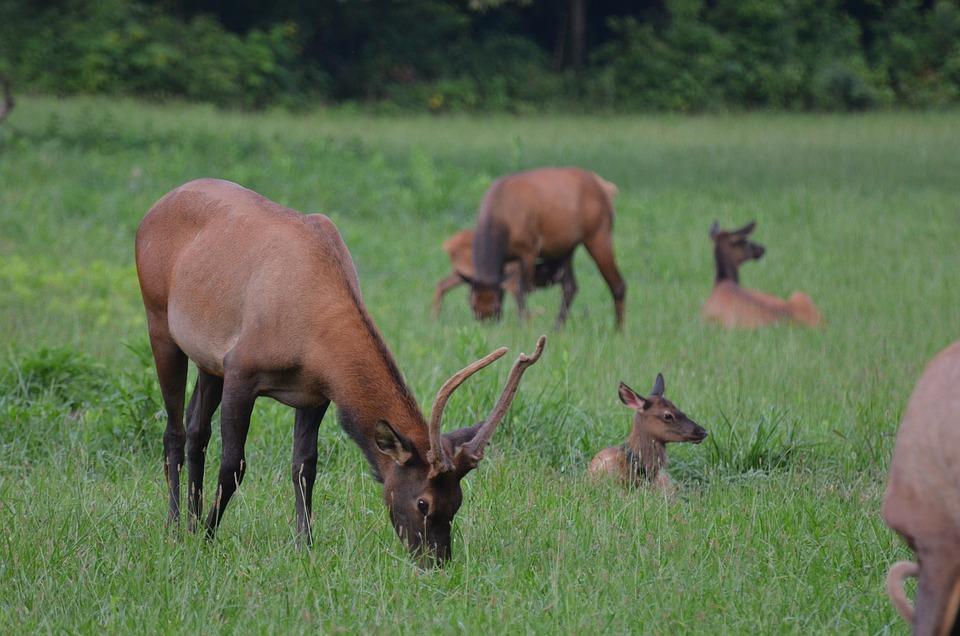 Herd Elk, Momentum Bull, Momentum, Mammal