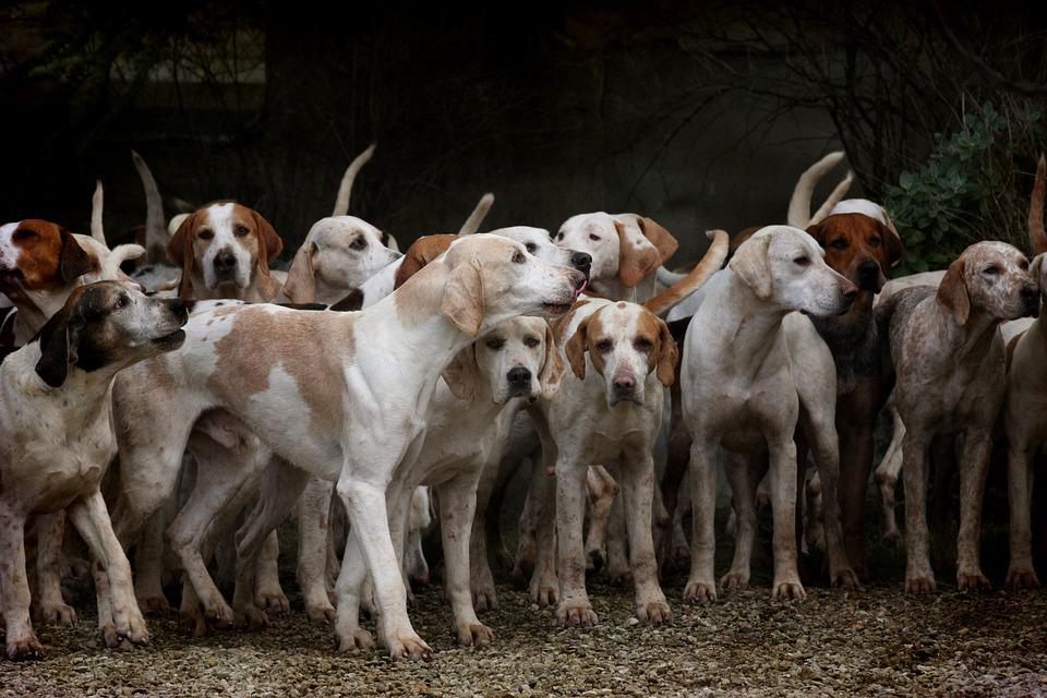 Dog, Herd, Canine, Animal, Pet, Hounds, Brown Dog
