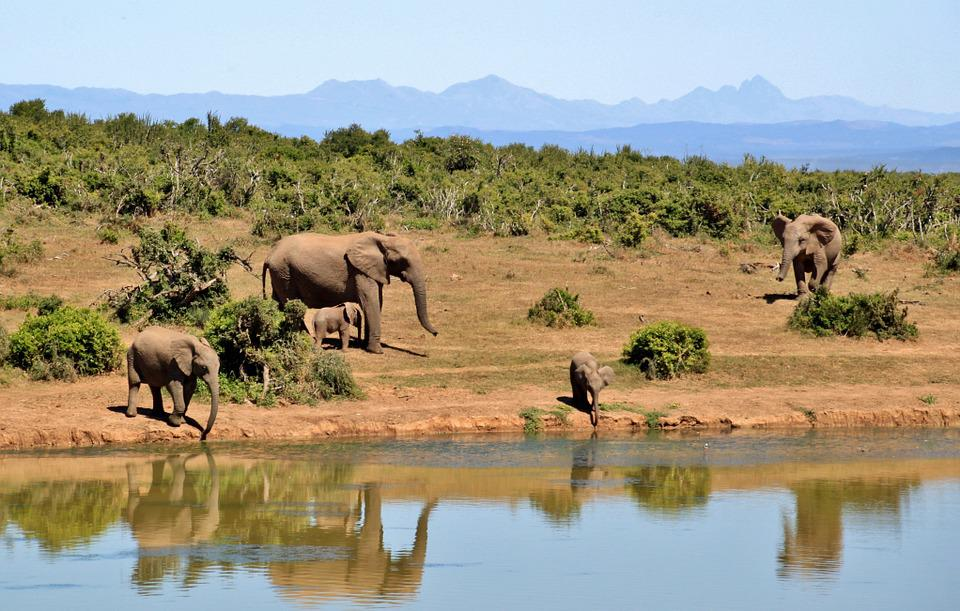 Elephant, Herd Of Elephants, Animals