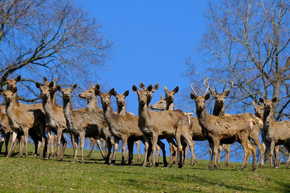 Deer, Roe Deer, Wildlife, Park, Herd