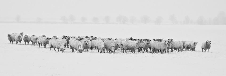 Winter, Sheep, Herd, Snow, Animals, Cold, Season