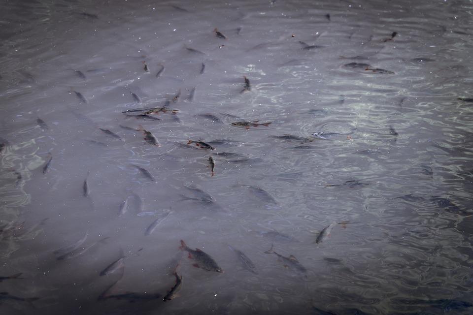 Fish, Shoal, Herd, Zarybiać, Fishing, Roach, Carp