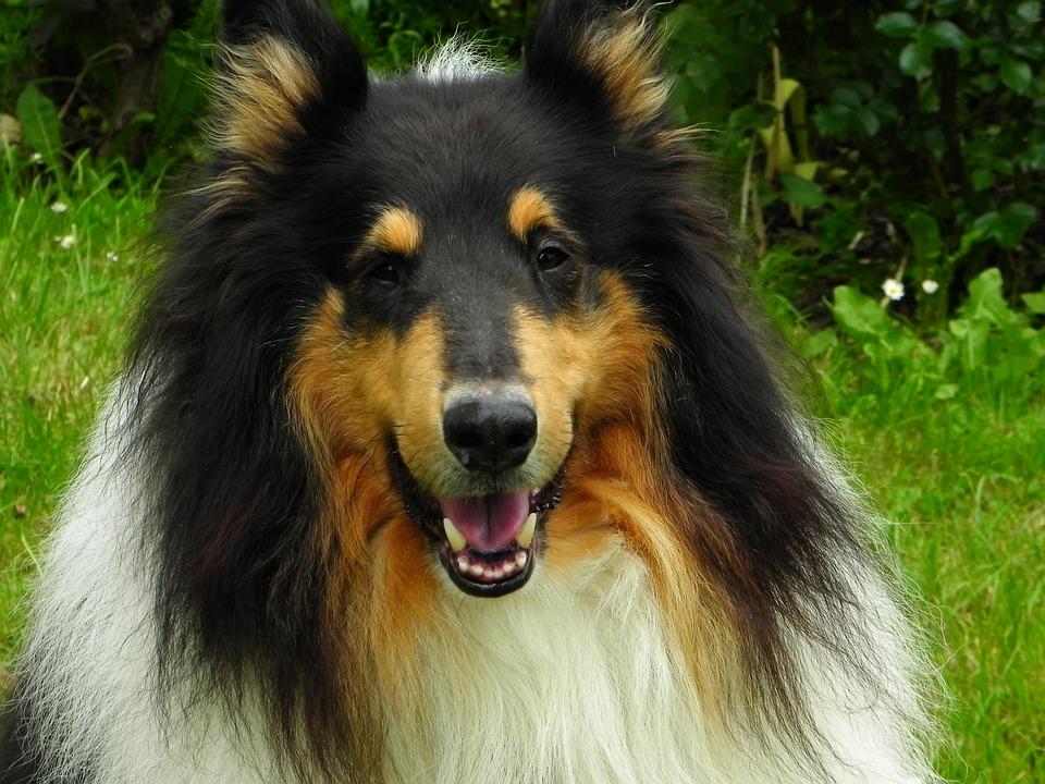 Collie, Dog, Animal, Pet, Purebred Dog, Herding Dog