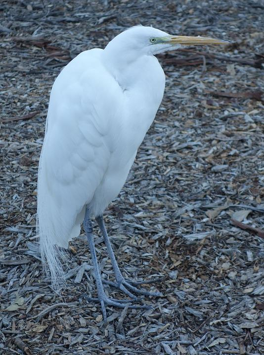 Egret, Bird, Animal, Heron, Beak, Birdwatching, Feather