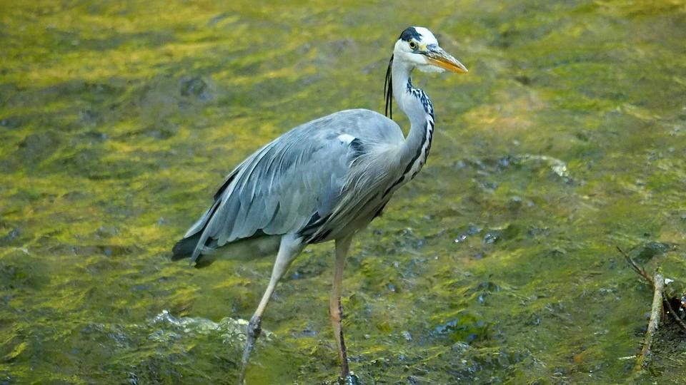 Nature, Hunters, Heron, Birds, Water