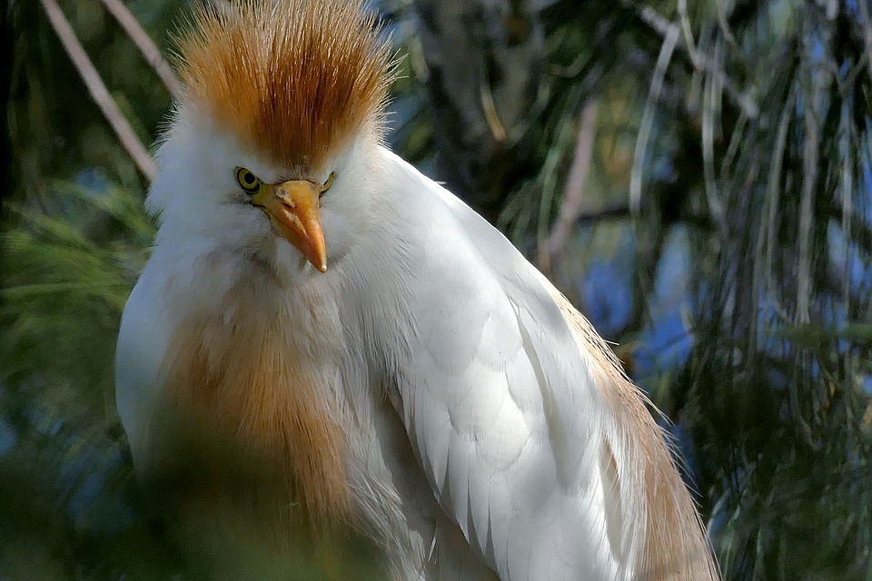 Heron, Cattle Egret, Bird