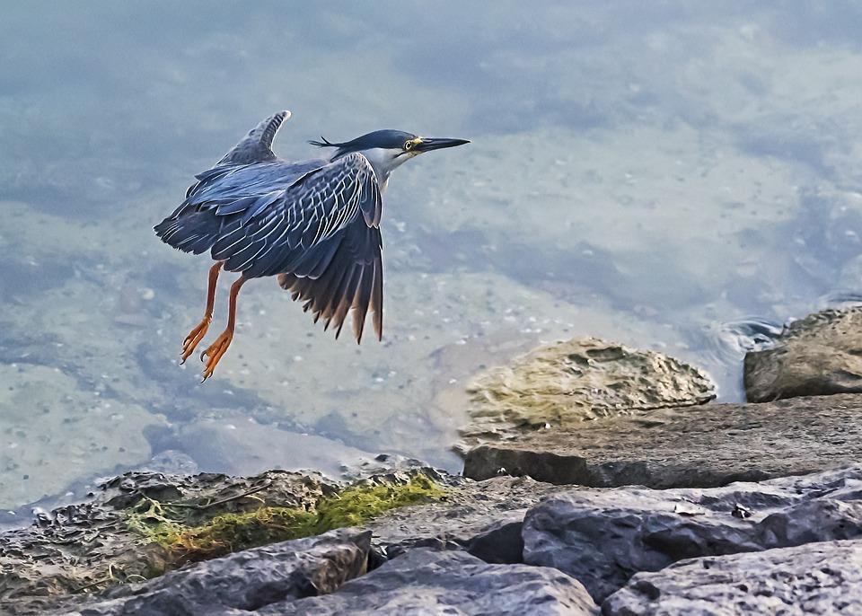 Heron, Flying, Bird, Nature, Wildlife, Animal, Flight