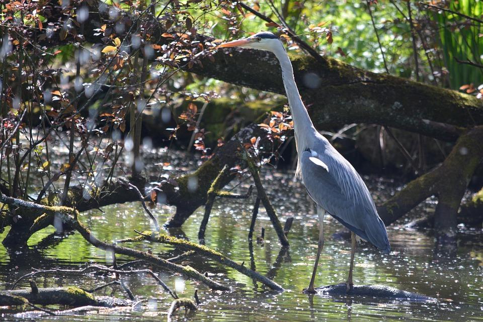 Grey Heron, Bird, Heron, Plumage, Stand, Pond