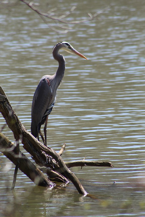 Heron, Bird, Habitat, Feather, Lake, North Carolina