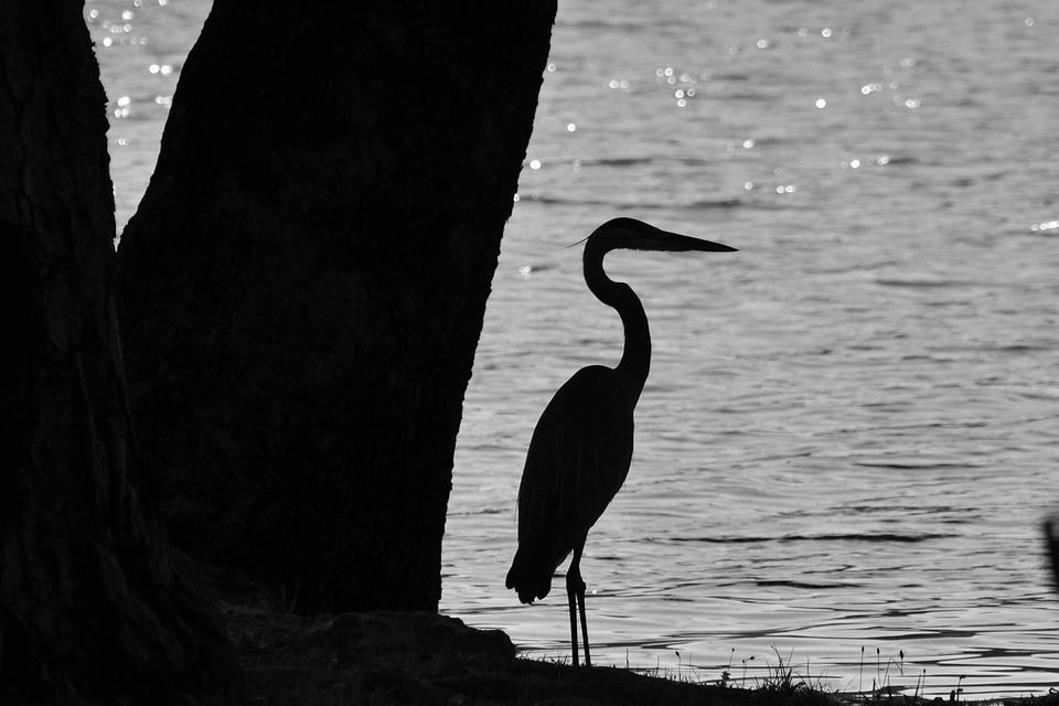 Heron, Bird, Water, Nature