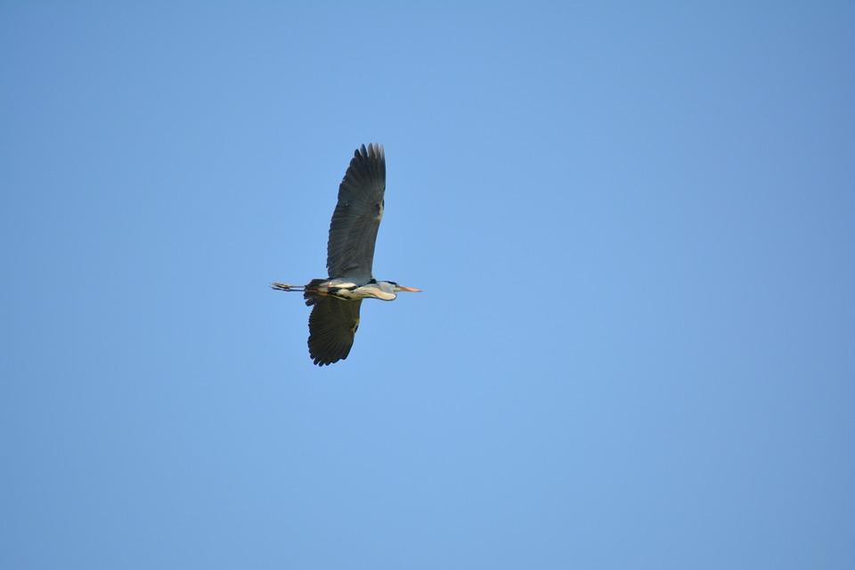 Heron, Birds, Reserve Torrile, Natural Parks