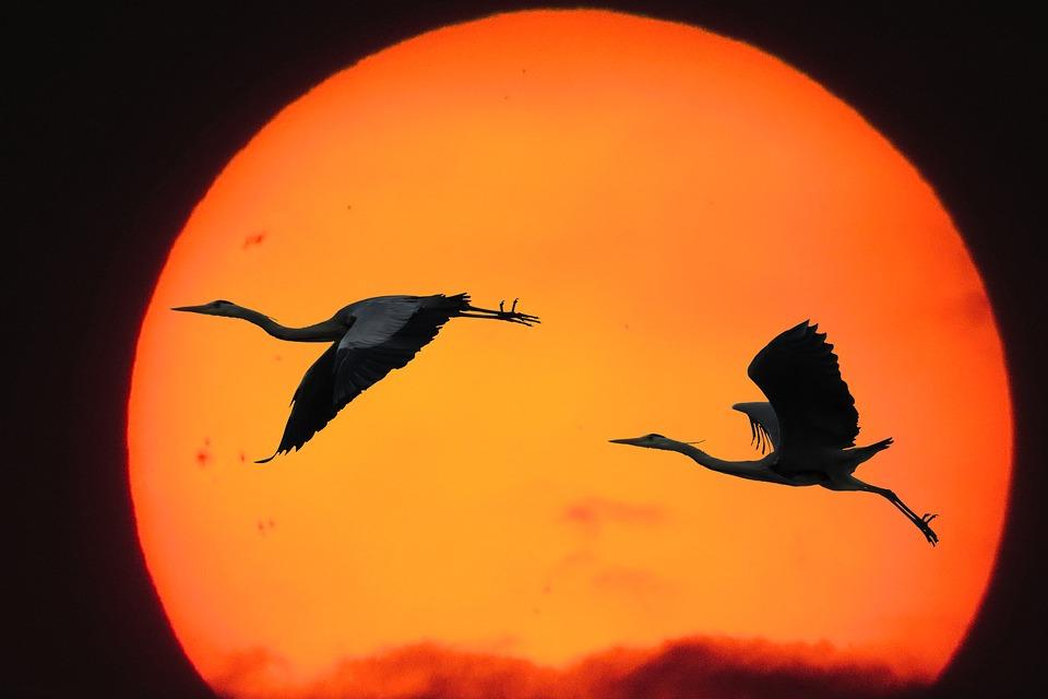 Nature, Sun, Sunset, Bird, Heron, Fly, Silhouette, Wing