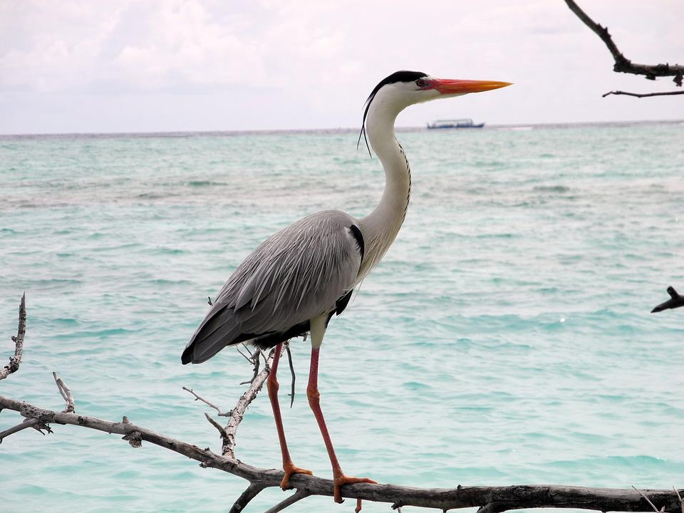 Heron, Sea, Stand, Watch