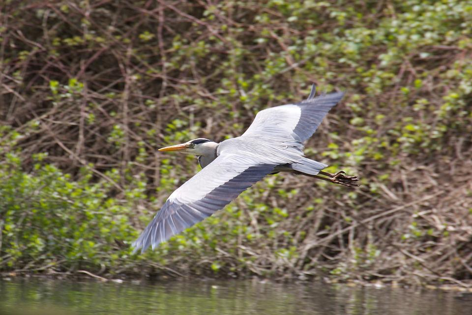 Water, Bird, Nature, Swamp, Marsh, Heron, River