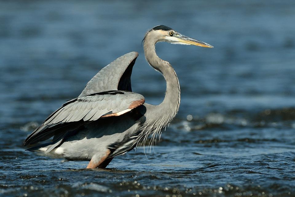 Great Heron, Heron, Bird, Wildlife, Water, Waterfowl