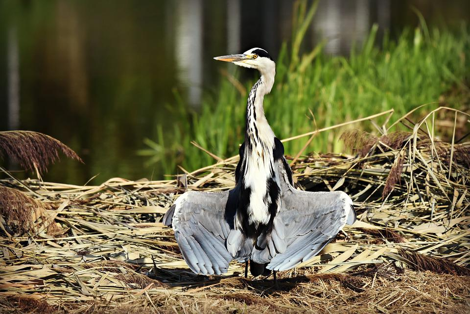 Heron, Wading Bird, Animal, Wildlife, Feather, Plumage
