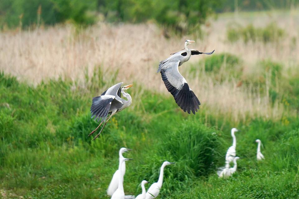 Herons, White Cranes, Animals, Wings, Birds, Flight