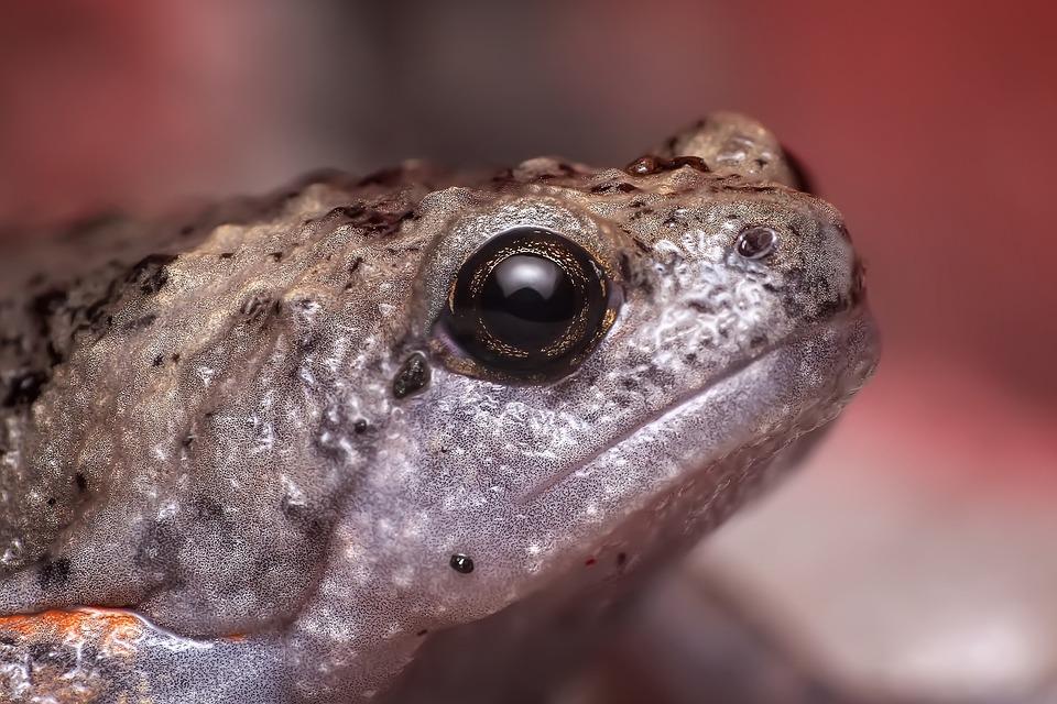 Frog, Frog Eye, Herped, Herpetofauna