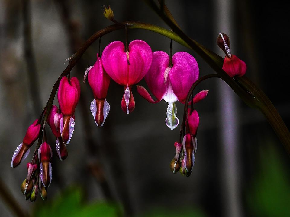 Herzerlstrauch, Bleeding Heart, Flowers