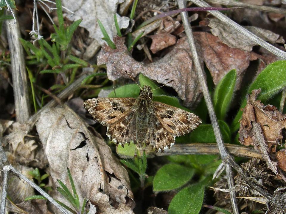 Carcharodus Alceae, Butterfly, Hespérido, Carcharodus