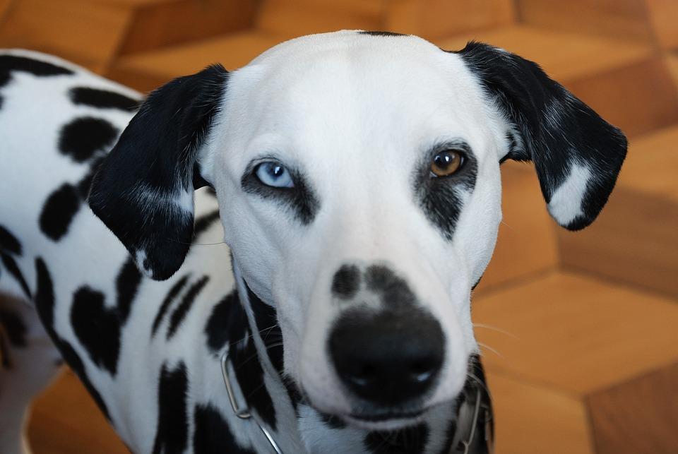 Animals, Dog, Dalmatians, Heterochromia