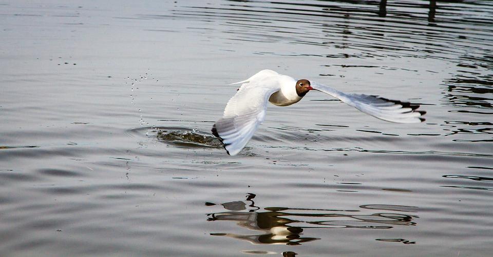 Hettemåke, Seagull, Seabirds
