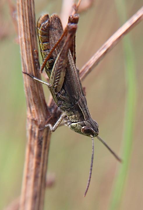 Grasshopper, Close, Insect, Viridissima, Heupferdchen