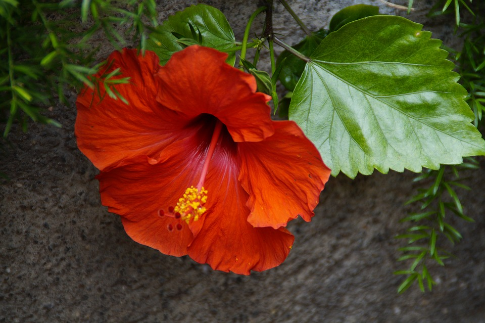 Hibiscus, Red, Bloom, Blossom, Bloom, Mallow, Malvaceae