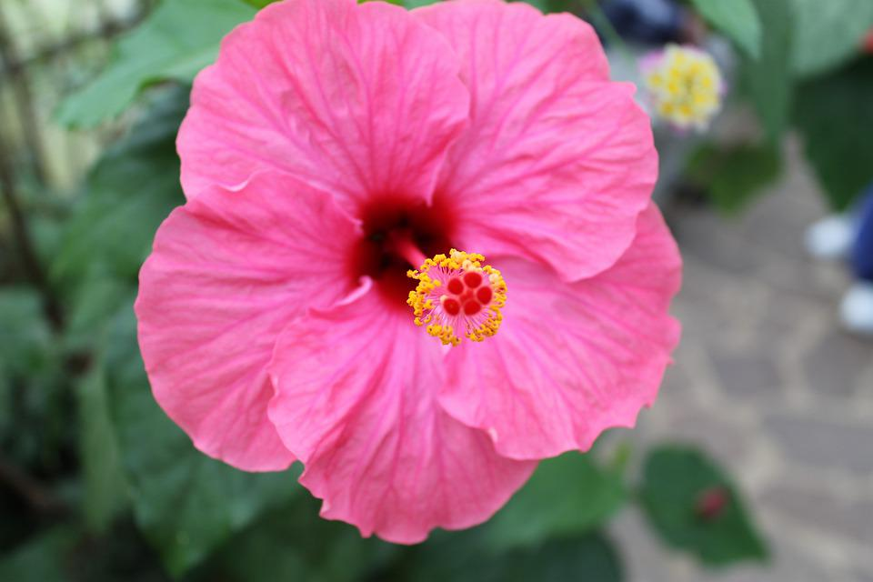 Hibiscus Flower, Hibiscus, Blossom, Bloom, Marshmallow