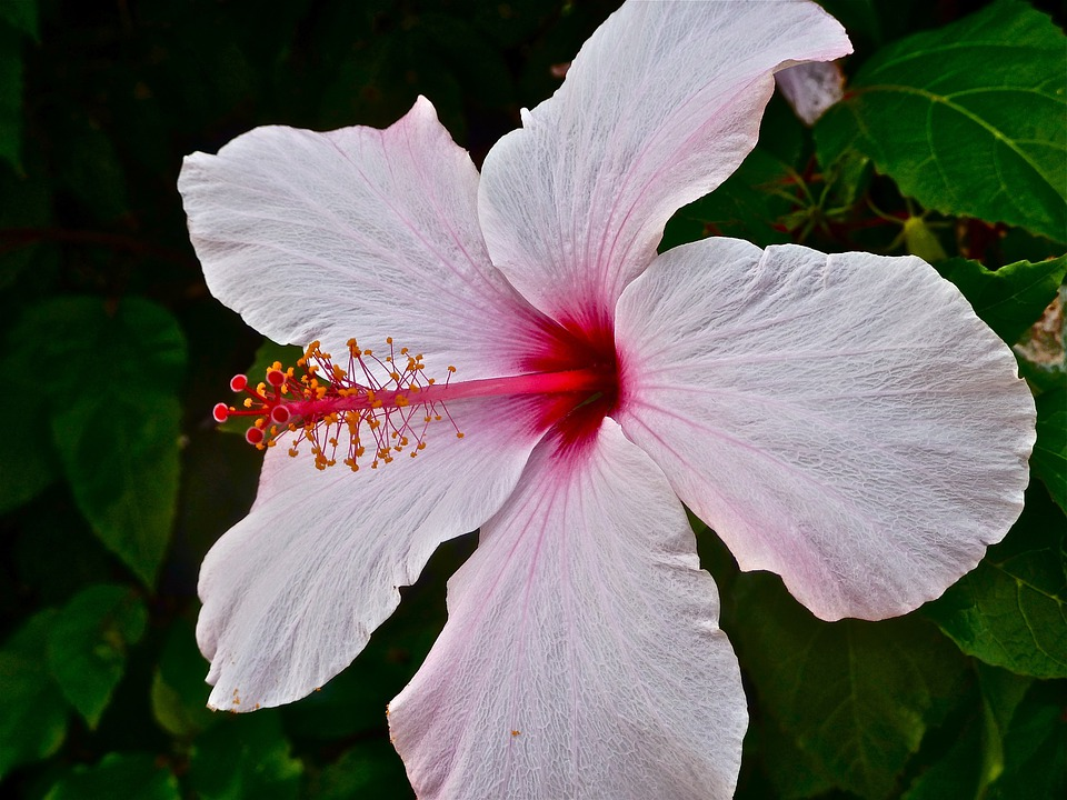 Mallow, Hibiscus, Blossom, Bloom, Pink