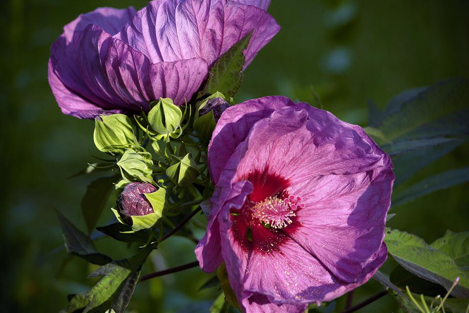 Flowers, Hibiscus, Large, Colorful, Blossoms, Blooms