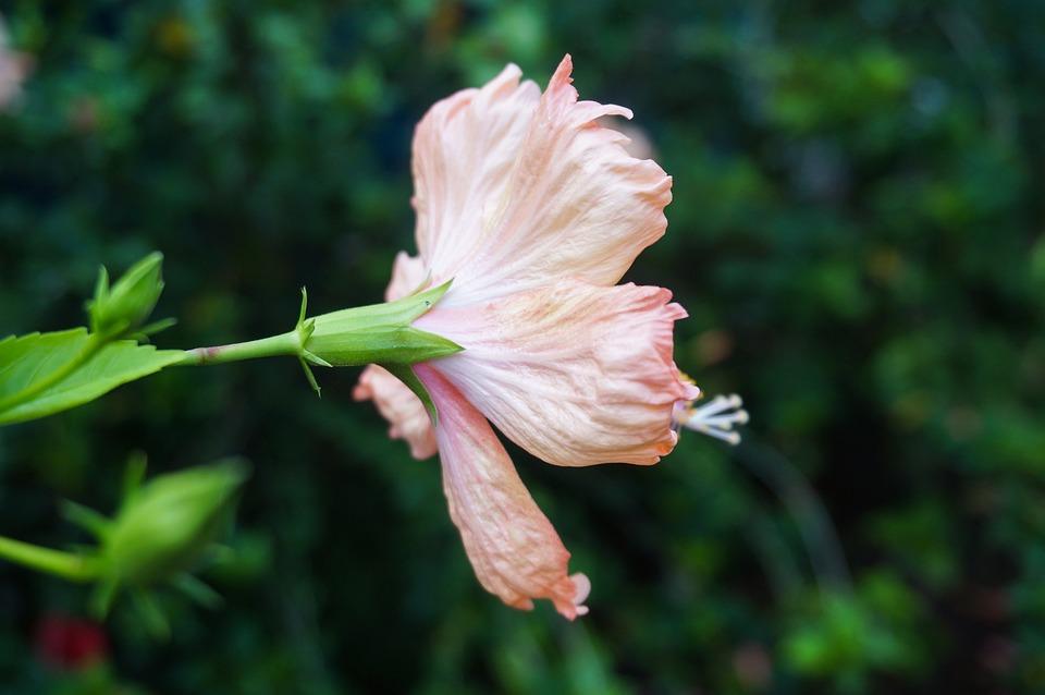 Flower, Hibiscus, Blossom, Bloom, Floral, Nature, Flora