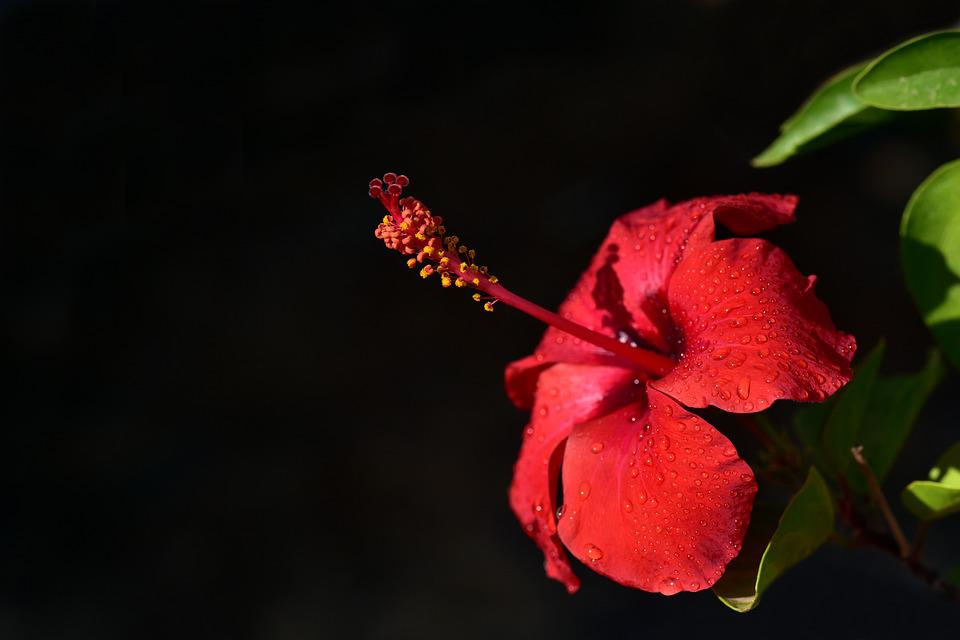 Hibiscus, Blossom, Bloom, Hibiscus Flower, Red, Drip