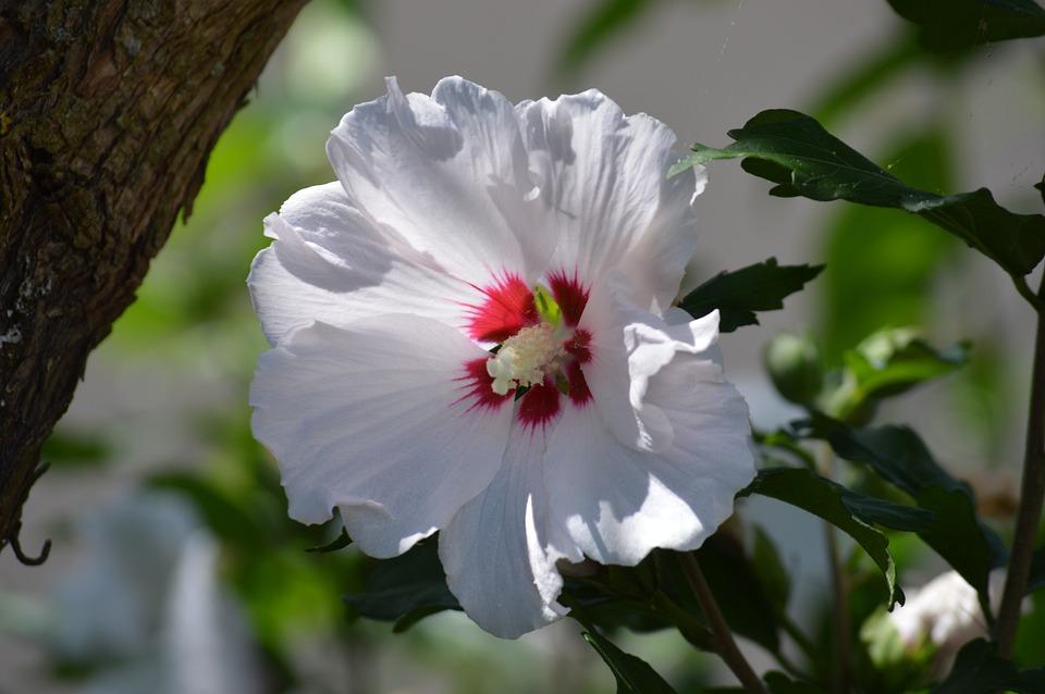 Flower, Hibiscus, Garden, Plants, Flora