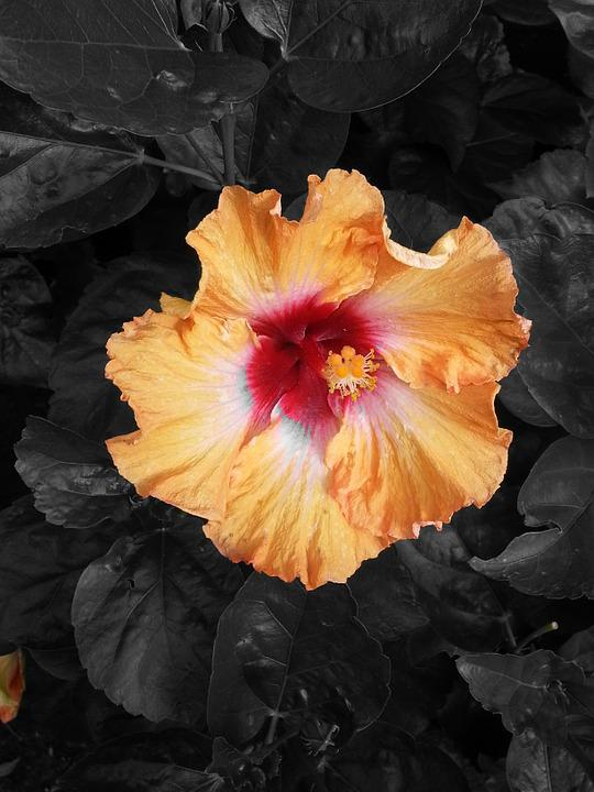 Hibiscus, Flower, Red, Orange, Nero