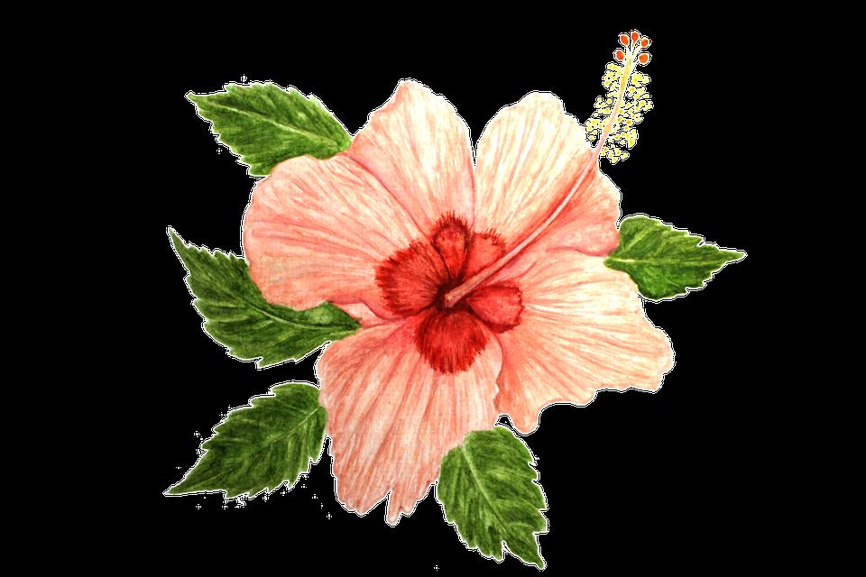 Hibiscus, Flower, Pink