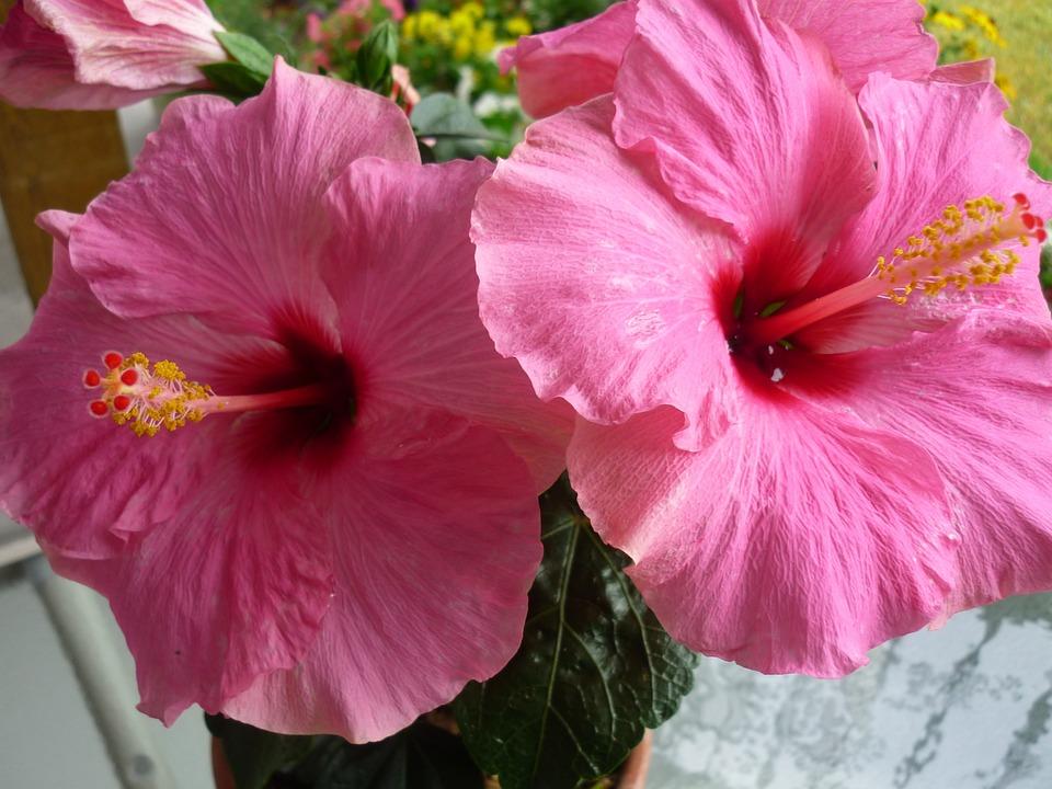 Hibiscus, Hibiscus Flower, Pink Hibiscus Flower
